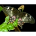 Citrus Swallowtail POT LUCK collection of 20 eggs