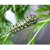 American Black Swallowtail polyxenes asterias 15 eggs or 10 Larvae according to availability.