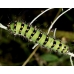 Emperor Moth pavonia  eggs  SPECIAL PRICES!