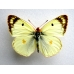 New Clouded Yellow Colias australis 5 pupae