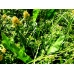 Great Water Dock Rumex hydropathalum Seeds. Foodplant of the Large Copper Butterfly