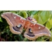 Oak Silkmoth polyphemus 15 eggs SPECIAL PRICES!