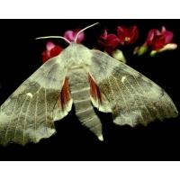 Poplar Hawk Laothoe populi  pupae