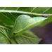 Brimstone rhamni larvae