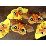 Bullseye Moth Automeris io  cocoons SPECIAL PRICE for TEN cocoons!