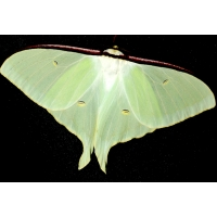 Actias artemis Asia 15 eggs or 10 larvae according to availability