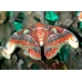 Giant Atlas Moth Attacus atlas Sumatran cocoons