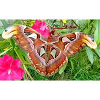 Giant Atlas Moth Attacus atlas 15 eggs
