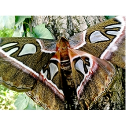 Attacus caesar Philippines TWO cocoons