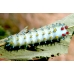 Robin Moth cecropia SPECIAL PRICE! 15 Eggs or 10 larvae according to availability