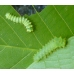 American Moon Moth Actias luna 15 Eggs or 10 larvae, according to availability.