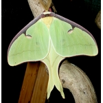 American Moon Moth Actias luna Eggs SPECIAL PRICES