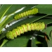 Madagascan Moon Moth mittrei 10 eggs