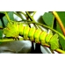 Madagascan Moon Moth mittrei  giant cocoons SPECIAL PRICES
