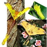 Madagascan Moon Moth mittrei  giant cocoons SPECIAL PRICES!
