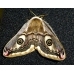 Emperor Moth pavonia  breeding stock of 5 cocoons