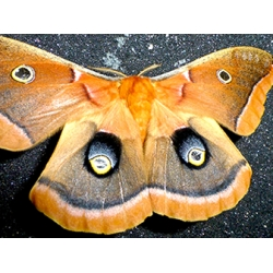 Oak Silkmoth polyphemus  5 cocoons at GIVE-AWAY PRICE!