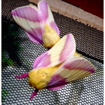 Rosy Maple Silkmoth (Sycamore Silkmoth) Dryocampa  rubicunda.  Breeding stock of 5 pupae