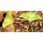 African Moon Moth Argema mimosae 15 eggs or 10 larvae according to availability