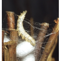 SILKWORM EGGS and Silkworms