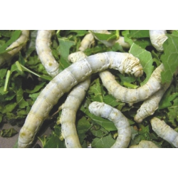 SILKWORMS Bombyx mori. FIFTEEN Established  larvae third stage or larger.