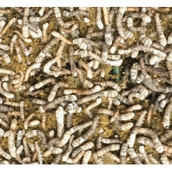 SILKWORMS Bombyx mori. FIFTEEN Established  Silkworms.