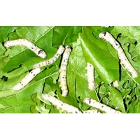 Silkworms Bombyx mori 20 Medium Silkworms