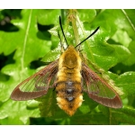 Far Eastern Bee Hawk Hemaris affinis A breeding stock of 5 pupae