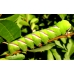 Privet Hawk S ligustri 10 Pupae SPECIAL OFFER!