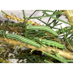 Pine Hawk Pinastri 15 eggs or 10 larvae according to availability