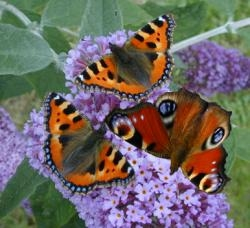 Duo Peacock Butterfly Inachis io and Small Tortoiseshell urticae 10 larvae of each